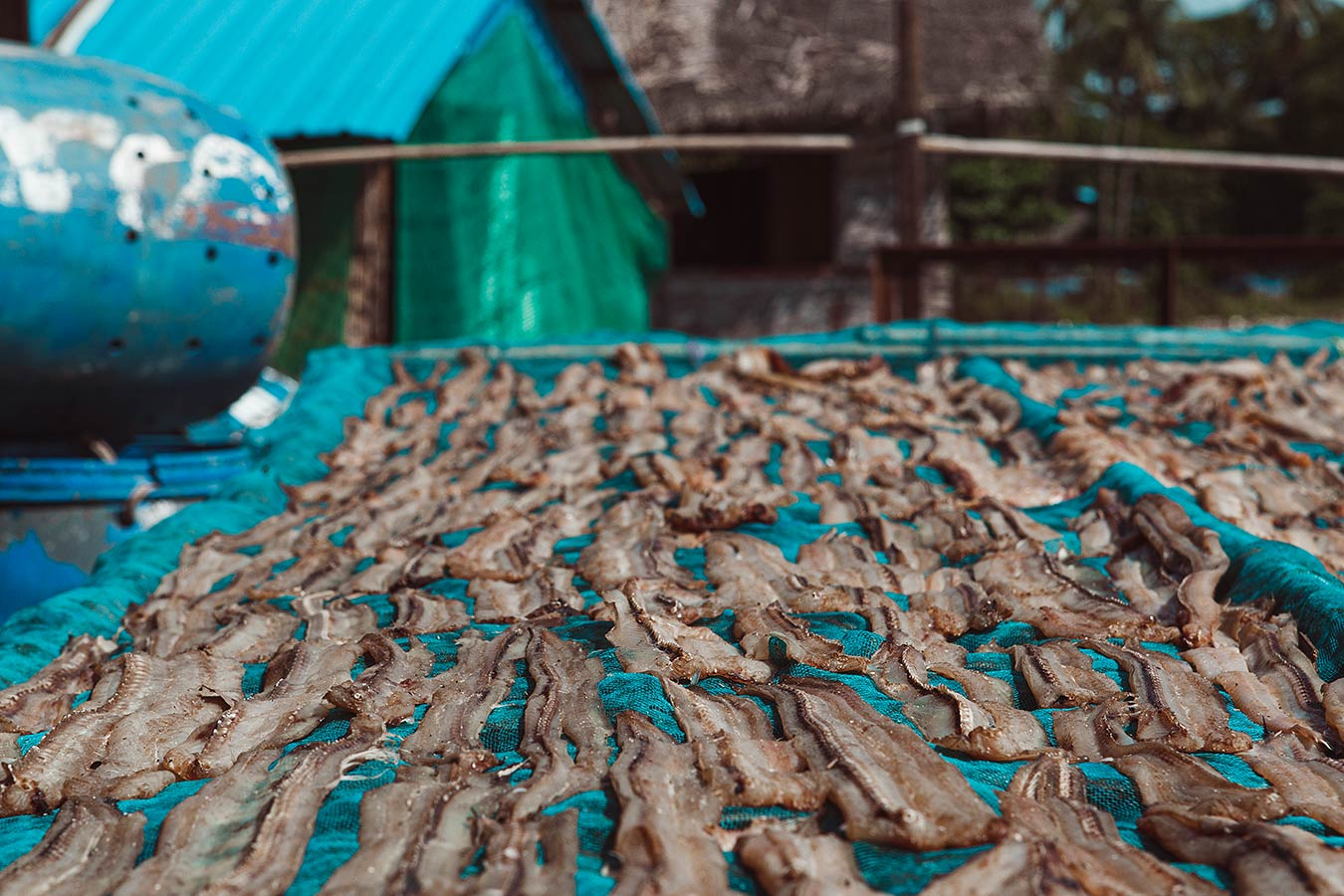 Fish is salted and cured in the hot sun - fishign village in Southeast Asia